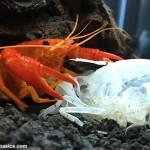 tangerine-lobster-eating-molted-shell